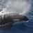Orcinus orca  erika ortiz   fundaci%c3%b3n omacha